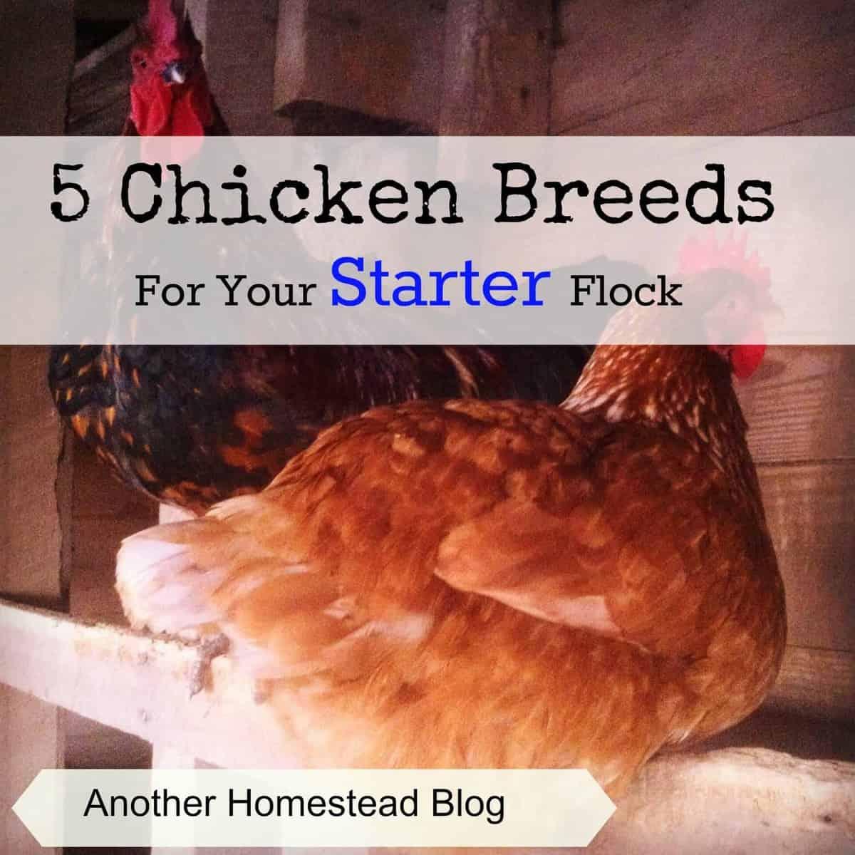 5 Great Breeds for a Starter Backyard Chicken Flock