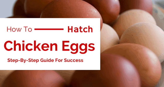 How To Hatch Chicken Eggs