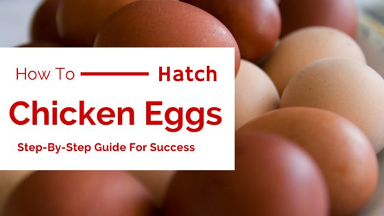 How to Hatch Chicken Eggs (Even Without Incubators)