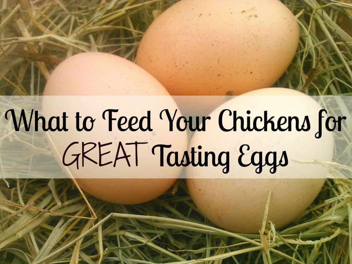 What to Feed your Chickens for Better Tasting Eggs