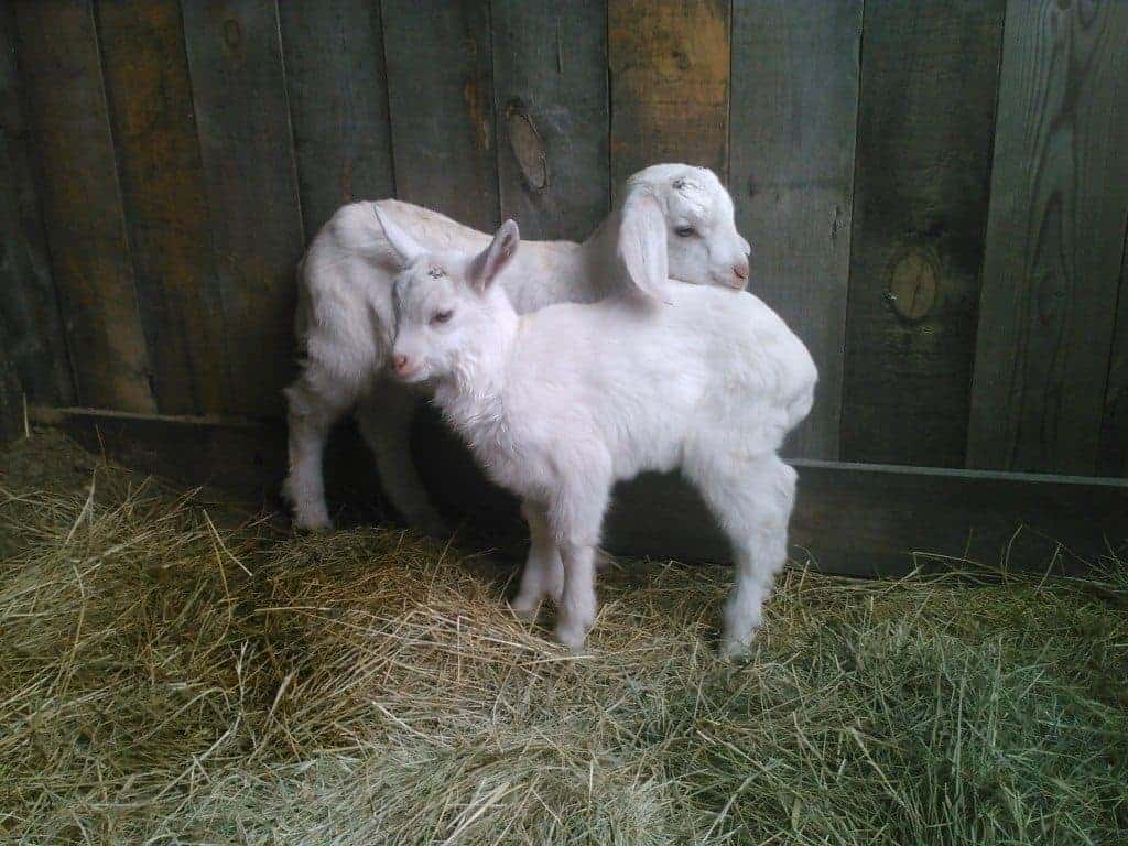 Our new bucklings!
