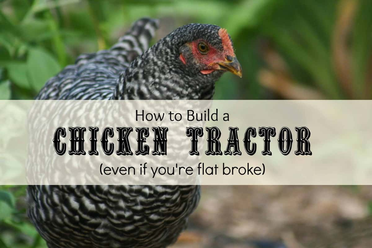 Chicken Tractor Plans Anyone Can Build (Even If You're Flat Broke)