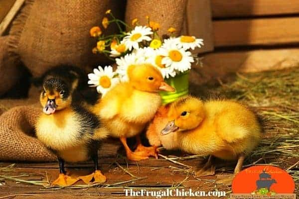 Learning to raise ducklings is easy, and you'll love their presence on your homestead. In this article, we cover everything you need to know. From FrugalChicken