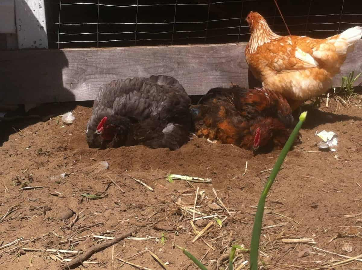 should you let your chickens free range frugal chicken