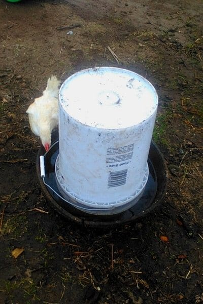 DIY automatic chicken waterer with chick