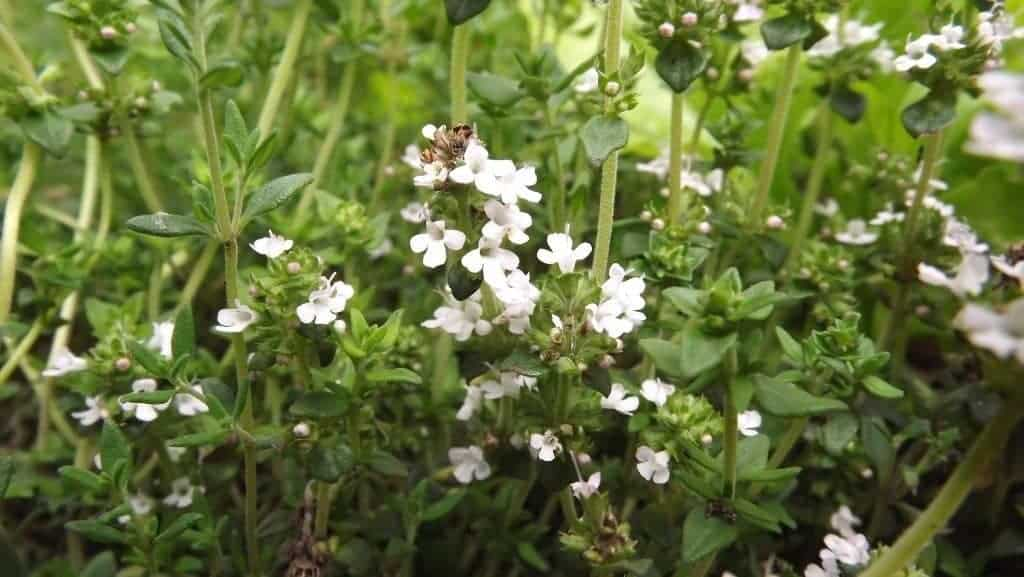 How to Grow a Perennial Herb Garden. It's a simple luxury that's easy to grow! Here's how to do it, and what you need. From FrugalChicken
