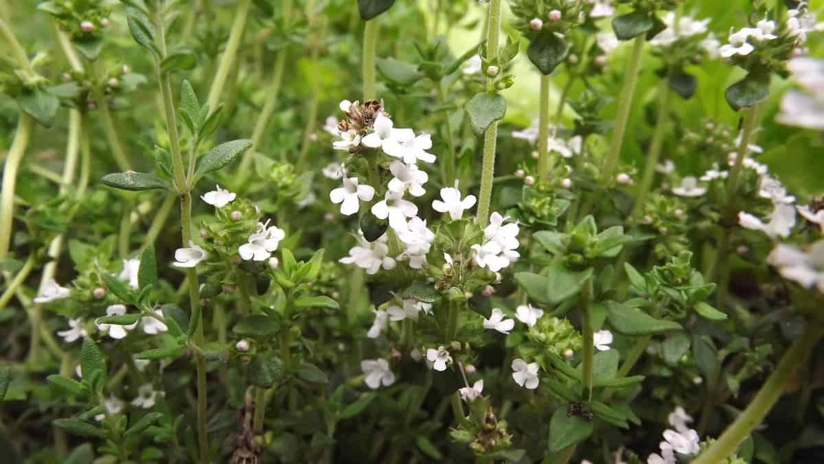 how to phow to plant a perennial herb gardenlant a perennial herb