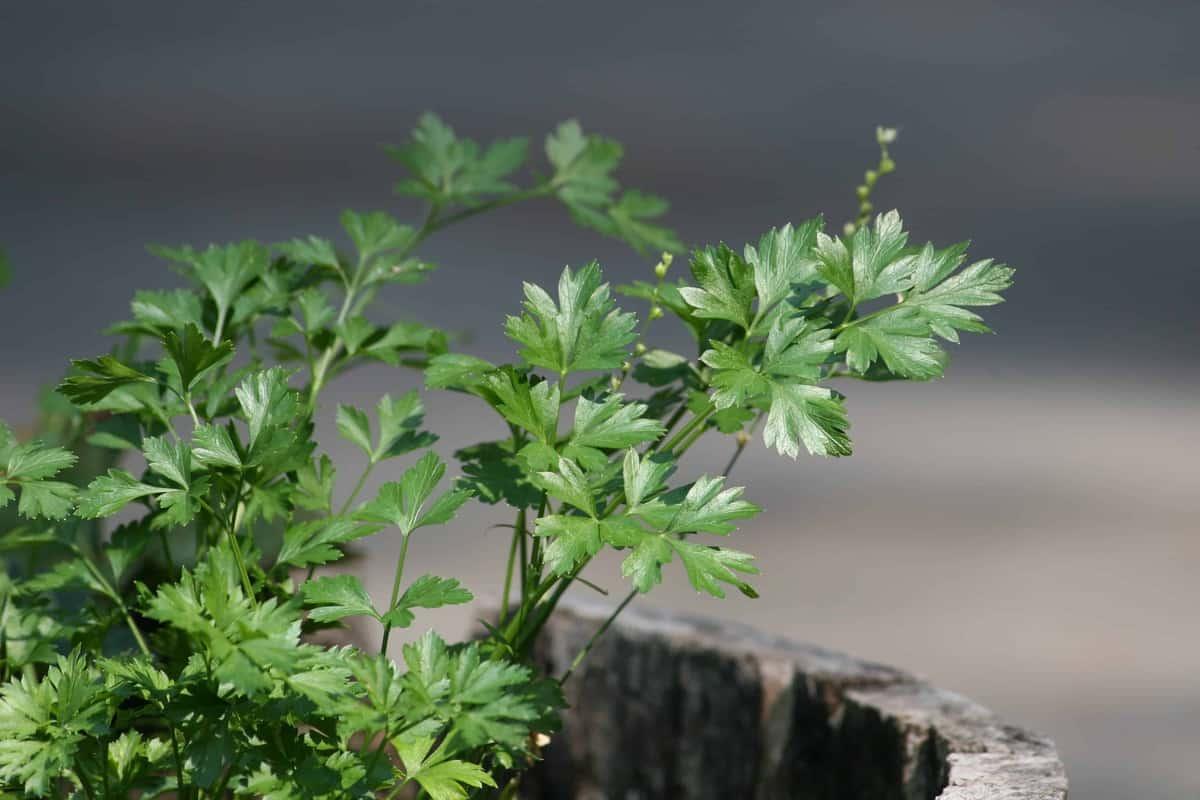 How To Grow A Perennial Herb Garden. Itu0027s A Simple Luxury Thatu0027s Easy To  Grow