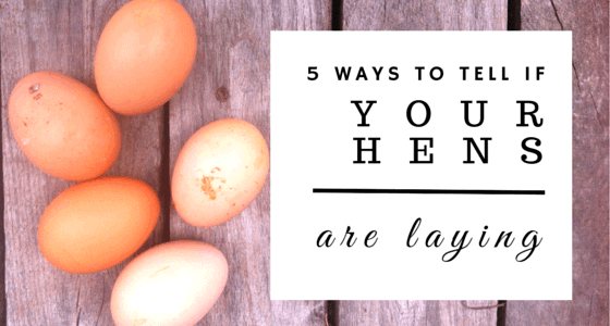 Not sure if your hens are laying? Here's 5 of the best ways to tell, complete with photos! From FrugalChicken