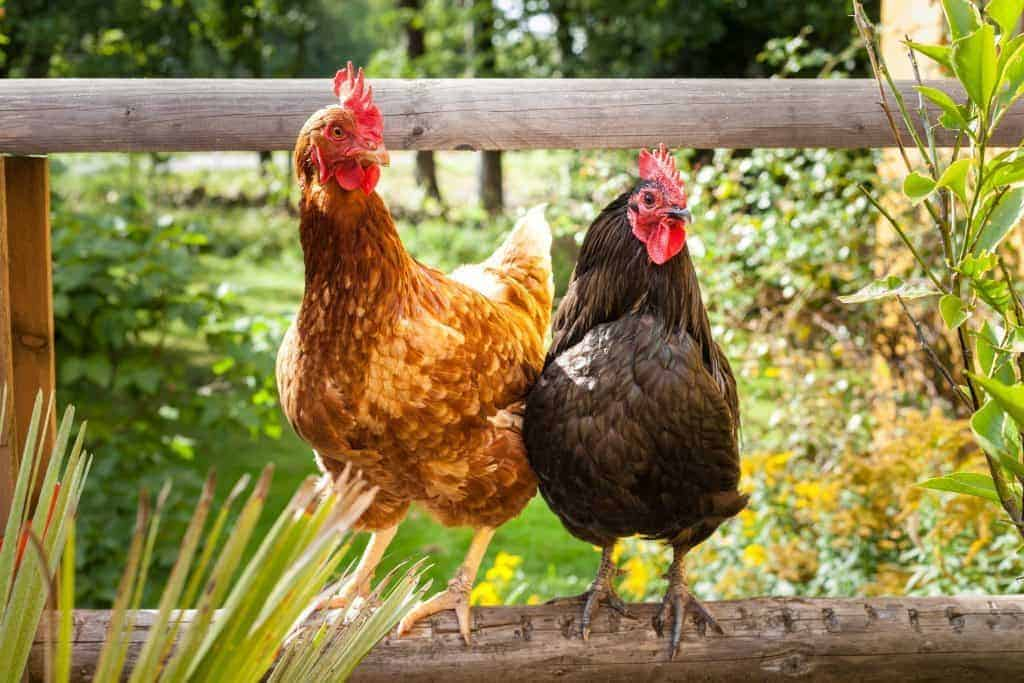 Thinking about adding a rooster to your flock but have some concerns? Here's everything you need to know, from what to feed to dealing with behaviors. From FrugalChicken