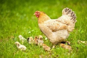 Not sure how to feed your flock when your chickens are different ages? It's easy if you remember two simple rules of thumb. From FrugalChicken