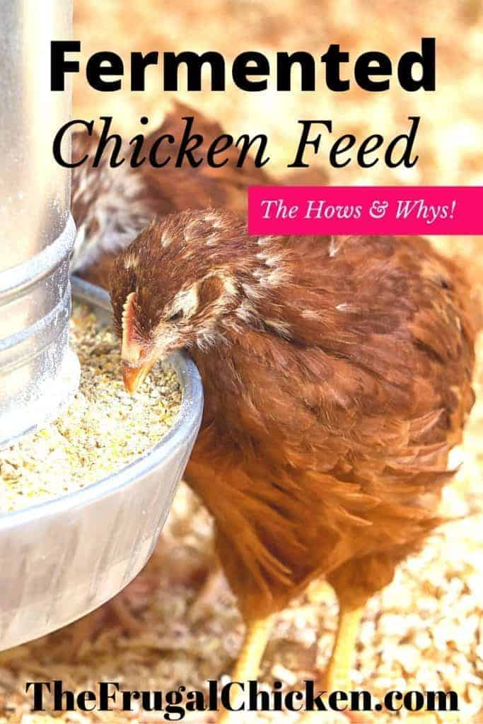 Worried fermented chicken feed isn't worth the trouble? In fact, it's one of the most beneficial things you can do for your flock! Here's how and why! From FrugalChicken