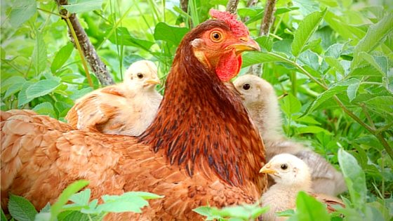 Raising Chickens: 6 Answers To Common Questions [Video Tutorial]