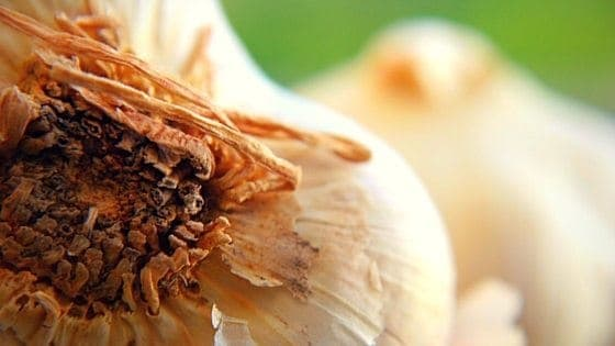 "Planting organic garlic is one of those things that makes you feel like a ''real"" homesteader. Here's what you need to know to successfully plant organic garlic. From FrugalChicken"