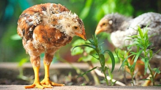 Chickens & Your Garden: 7 Ways To Use Chickens In Your Permaculture Garden 'What The Cluck?!' Session 12 [Podcast]