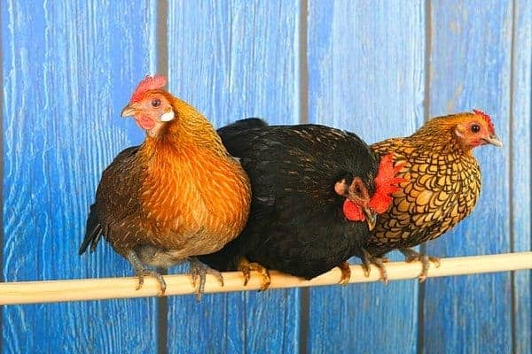 When it comes to chickens, honey's antibacterial properties might save their lives. In this article, you'll learn how to use honey to treat traumatic injury in chickens and why it's so important to keep in your emergency kit.