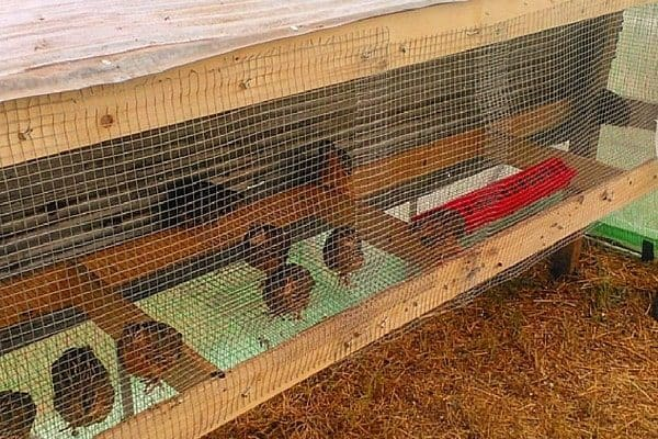 Raising quail for sustainable eggs and meat is easy. If you live in an urban area that outlaws chickens, quail are a good alternative. Here's how to start quail farming. From FrugalChicken