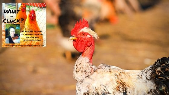 4 Rare Breeds Of Chickens For Your Homestead: What The Cluck?! Episode 11 [Podcast]