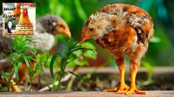 The Best Herbs For Chickens To Eat? These Are Them (Plus One For First Aid!) [Podcast]