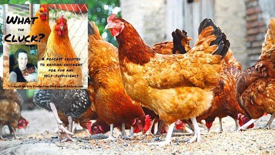 Chicken Breeds For Children [Podcast]