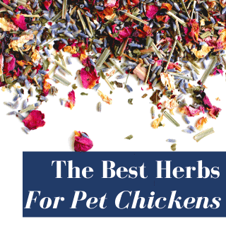 herbs for chickens on white