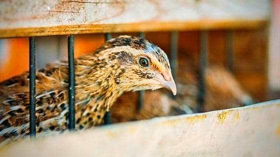 Build A Quail Hutch With Little Or No Money [Video Tutorial]