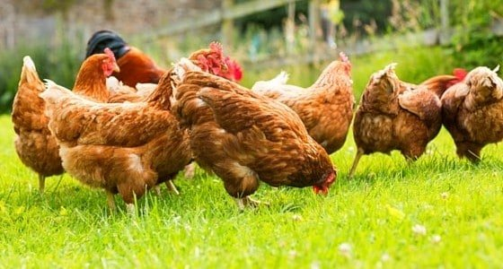 """""""How do I add a new chicken to my flock?"""" is one question I get. It's a simple 3 part process you need to get right to prevent injuries and illness."""