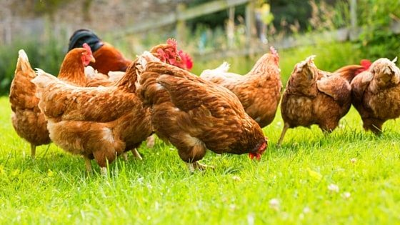 The Low-Drama Way To Adding A New Hen To Your Flock