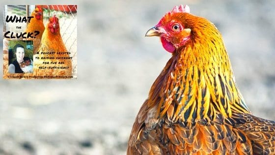 Chickens In Winter, Broody Hens, & Covered Runs (Your Questions Answered!) [Podcast]