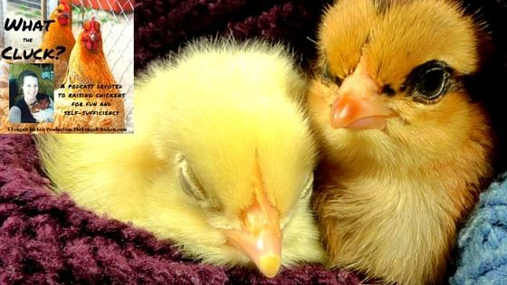 10 Chicken Facts That'll Amaze You! [Podcast]