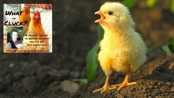 Chicken Illnesses & Symptoms You Need To Know [Podcast