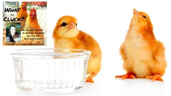 Feeding Chickens Eggs, Blood Spots, Capons, How Many Chickens Should I Get? & Introducing New Chicks [Podcast]