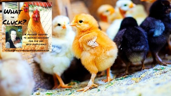 How to Raise Baby Chicks So They're Healthy From Day 1 [Podcast]