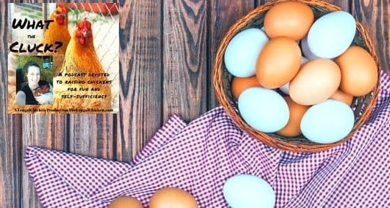 What kind of chickens lay blue eggs? Plenty! Here's the inside scoop (plus the difference between Araucanas, Ameraucanas, and Easter Eggers!)