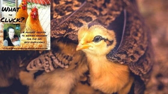 Can I Keep Chicks In The House? What Killed My Chicks?, Are Heatlamps Necessary? Why Do Chickens Roll? Do Chicks Need Nesting Box Training? [Podcast]