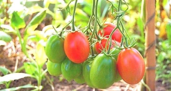 grow paste tomatoes