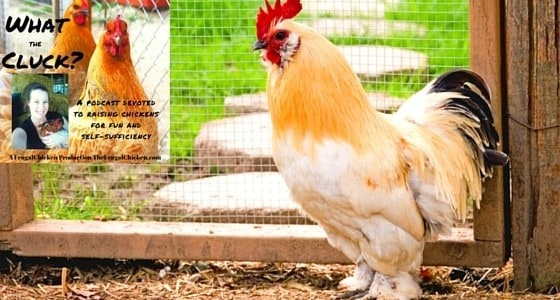 Do you know the proper way to give a broody hen eggs so you don't convince her to leave her nest? Or what should always be in your chicken emergency kit? If not, then read on.