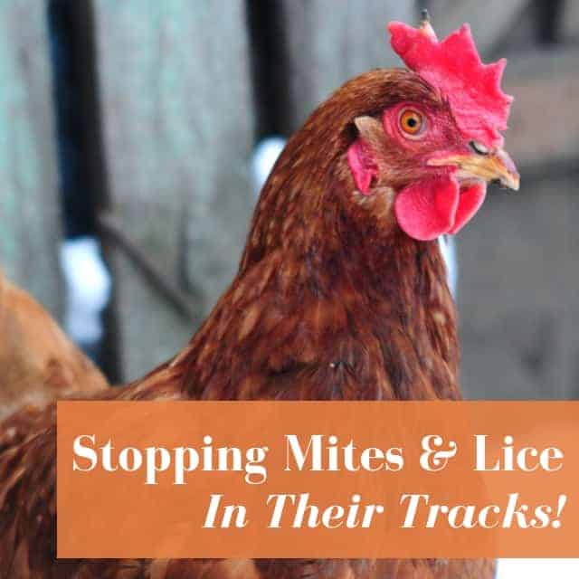chicken mites on hen