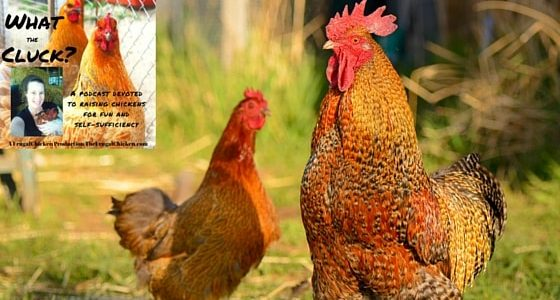 If you're raising chickens with neighbors near you, or if you haven't gotten a flock yet because you're worried about ticking off your neighbors, then this podcast is for you.