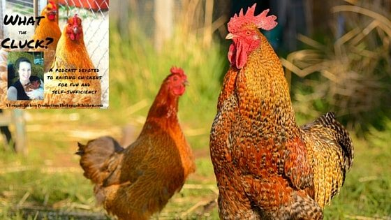 Raising Chickens with Neighbors And Winning with Karen Thompson of Lil' Suburban Homestead [Podcast]
