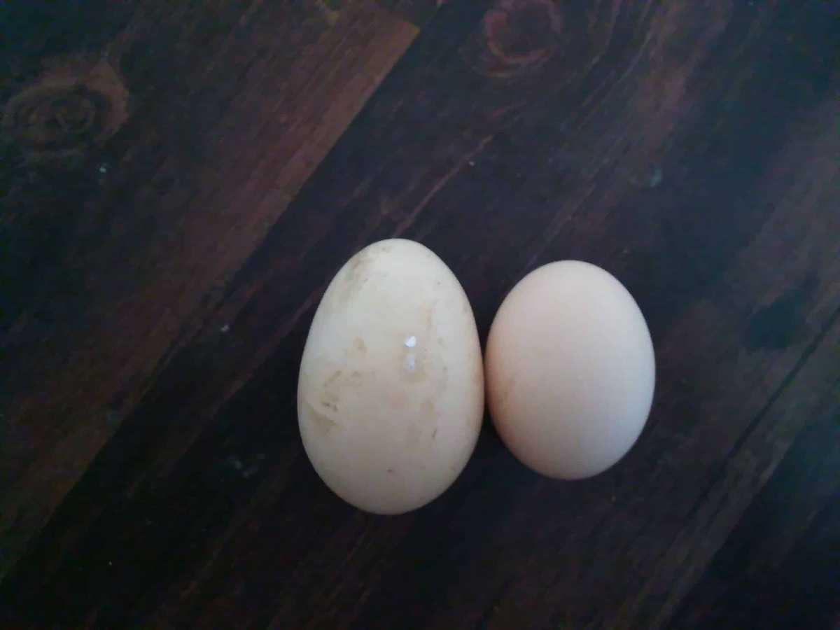 We get more than our fair share of double yolk eggs on our homestead. Here's why they happen and why they're not such a big deal!