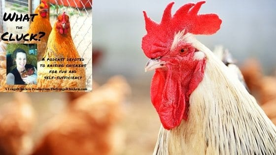 Rooster Rockstars: What Makes A Good Rooster Anyway? [Podcast]
