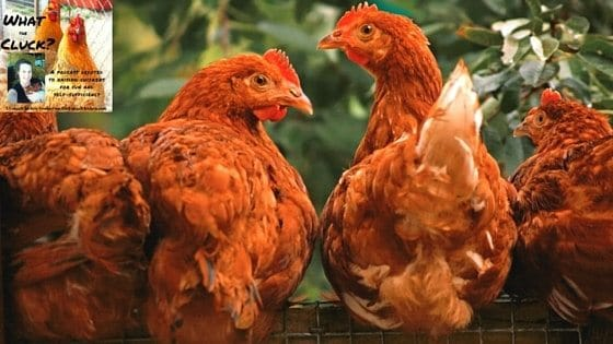 Can Chickens Eat Algae? Combating Iron Deficiency For Better Eggs