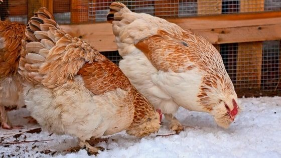 Do Chickens Need Heat In Winter? Let's Keep 'Em Safe!