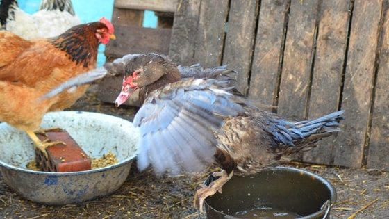 Keep Your Chicken's Water From Freezing (Without Electricity)