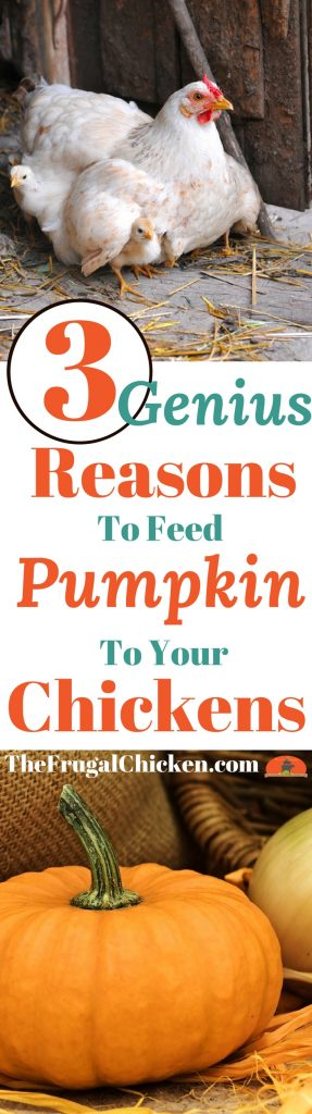 Wondering if you can feed pumpkins to your backyard chickens? You can, and here's why you should!