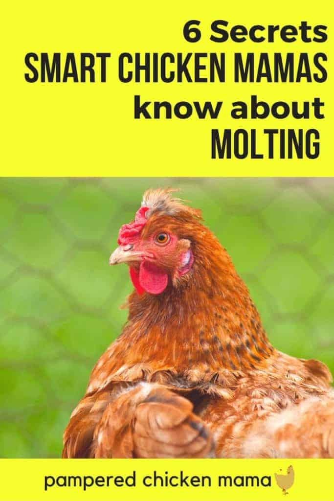 Heard your backyard chickens molting can be stressful? Here's everything to support your backyard chickens beginners need to know!
