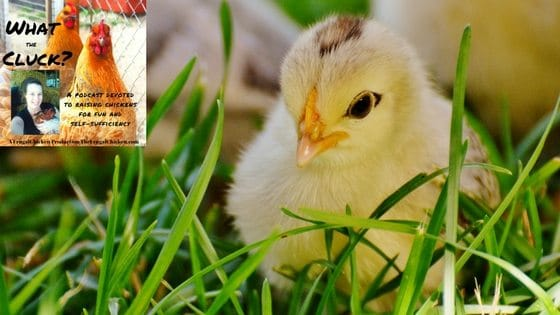 Preparing For Baby (Chicks, That Is!) [Podcast]