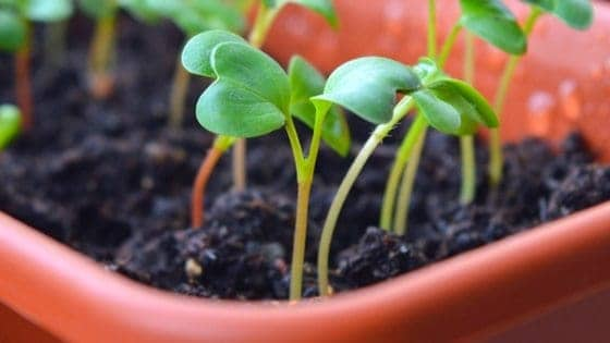 What vegetables can be started in cold frames? Plenty! Here's 12 you can start right now!