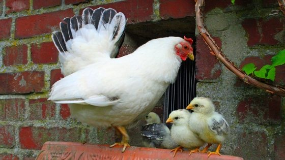 6 questions to ask before getting chickens